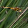 Black Darter, female, Sympetrum danae 0663