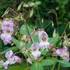 Himalayan Balsam, Impatiens glandulifera 0757