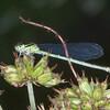 Azure Damselfly, female, Coenagrion puella 0699