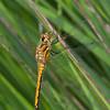 Black Darter, female, Sympetrum danae 0664