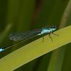 Blue-tailed Damselfly, male, Ischnura elegans 0736