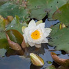 White Water Lily, Nymphaea alba 0739