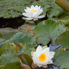 White Water Lily, Nymphaea alba 0740