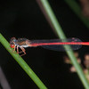 Small Red Damselfly, male, Ceriagrion tenellum 0673