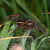 Raft Spider, female, Dolomedes fimbriatus 0627