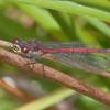 Large Red Damselfly, male, Pyrrhosoma nymphula 0619