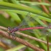 Large Red Damselfly, male, Pyrrhosoma nymphula 0618
