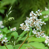 Lesser Knotweed, Persicaria campanulata whiteflora 0758