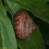 Kentish Snail, Monacha cantiana 8319