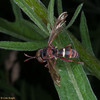 Thick-headed fly, Conops vesicularis 8366