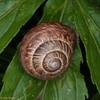 Kentish Snail, Monacha cantiana 8318