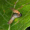Lauxaniid fly on sawfly larva 8317
