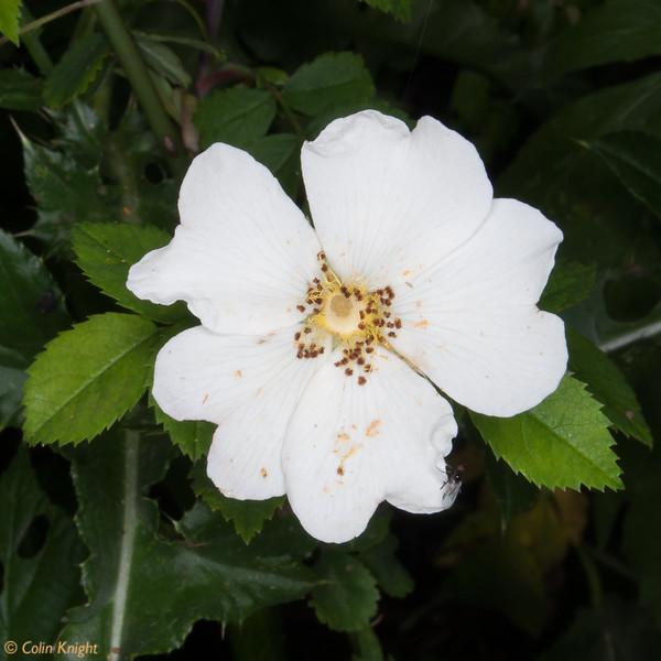 Wild rose, Rosa species 8336