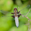Broad-bodied Chaser, Libellula depressa 6432