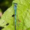 Azure Damselfly, Coenagrion puella 6340