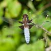 Broad-bodied Chaser, Libellula depressa 6429