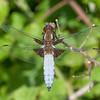 Broad-bodied Chaser, Libellula depressa 6440