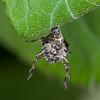 Red-legged Shieldbug, early instar nymph case, Pentatoma rufipes 6420