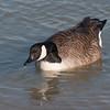 Canada Goose, Branta canadensis 9362