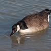 Canada Goose, Branta canadensis 9361