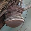 Willow Bracket, Phellinus igniarius 9553