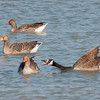 Canada Goose, Branta canadensis and Greylag Geese, Anser anser 9317