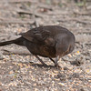Blackbird, female, Turdus merula 9430