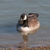 Canada Goose, Branta canadensis 9326