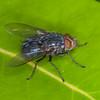 Bluebottle, Calliphora species 8729