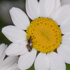 Common Flower Bug, Anthocoris nemorum on Oxeye Daisy, Chrysanthemum leucanthemum 8882