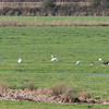 Bewick's Swans, Cygnus columbianus and Greylag Geese, Anser anser  9972