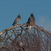 Feral Pigeons, Columba livia domestica 0067