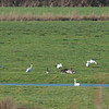 Bewick's Swans, Cygnus columbianus and Greylag Geese, Anser anser  9983