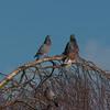 Feral Pigeons, Columba livia domestica 0066