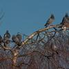Feral Pigeons, Columba livia domestica 0068