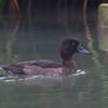 Tufted Duck ♀, Aythya fuligula 4633