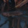 Water Vole, Arvicola amphibius 4795