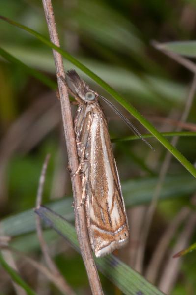 Hook-streak Grass-veneer, Crambus lathoniellus 3306-2