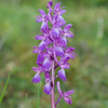Early Purple Orchid, Orchis mascula 3263