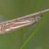 Hook-streak Grass-veneer, Crambus lathoniellus 3307