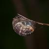 Rounded Snail, Discus rotundatus 3237