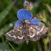 Wavy-barred Sable, Pyrausta nigrata 3246