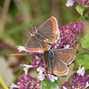 Brown Argus ♀ rejecting ♂, Aricia agestis 2211