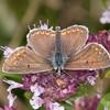 Brown Argus ♂, Aricia agestis 2210