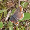 Brown Argus, Aricia agestis 2538