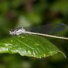 Azure Damselfly ♀, Coenagrion puella 2578