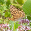 Silver-washed Fritillary ♀, Argynnis paphia 2588