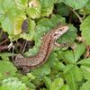Common Lizard, Zootoca vivipara 2509