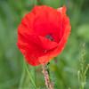 Red Poppy, Papaver rhoeas 5999