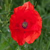 Red Poppy, Papaver rhoeas 5995
